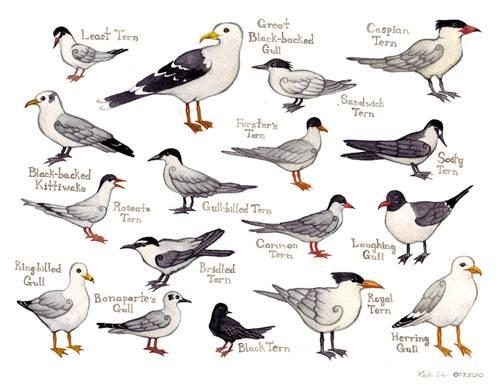 Gull & Tern Chart