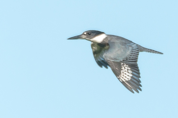Belted Kingfisher - Charlie Moore