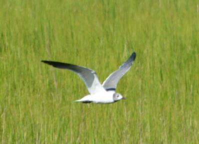 Laughing Gull - Dean Morr