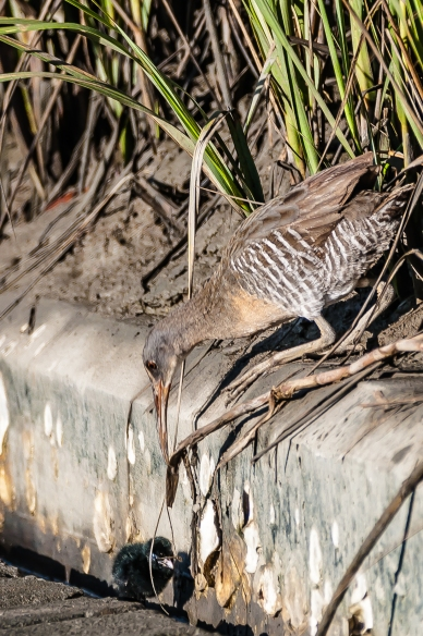 Clapper Rail - Mother and chick - Charley Moore