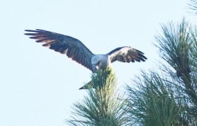 Mississippi Kite in pine above boat ramp - Dean Morr