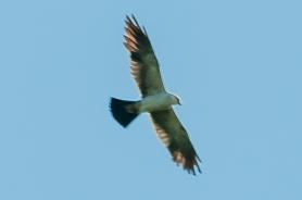 Mississippi Kite - Charlie Moore