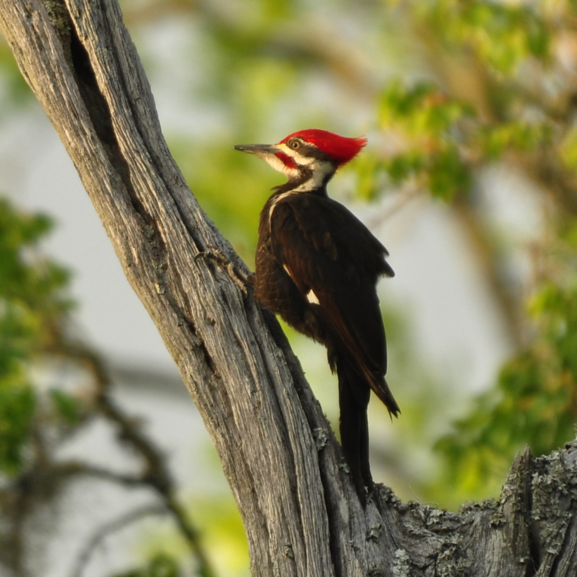 woodpecker bird Photographs of and information about red-bellied woodpeckers in southeastern louisiana are featured in this article they are permanent residents of our habitat and.