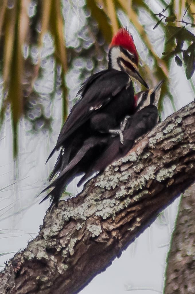 Pileated Woodpecker 2 Moore Sib