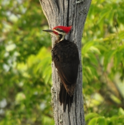 Pileated Woodpecker (male) - Ed Konrad