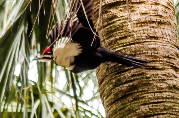 Pileated Woodpecker - C Moore