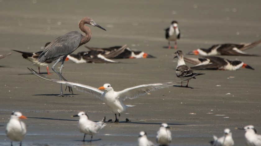 A large diverse group of birds on the beach - Ed Konrad