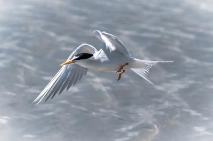 Least Tern? - Charles Moore
