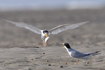 Least Terns - Ed Konrad