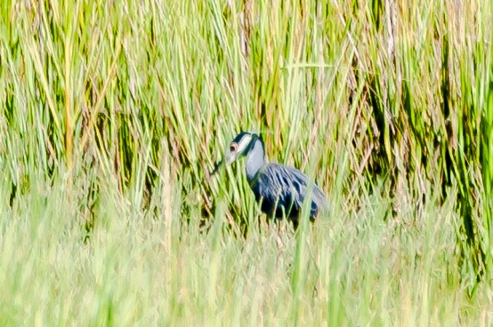 Yellow-crowned Night Heron - Charlie Moore