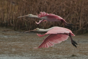 Roseate Spoonbills flying away at Bear Island - Ed Konrad