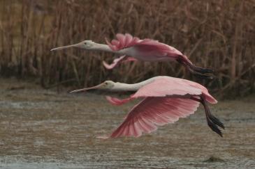 Roseate Spoonbills flying away at Bear Island - Ed Konrad