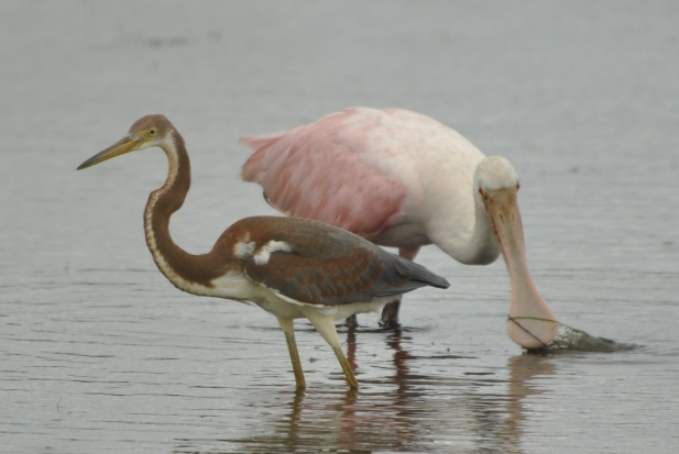 Roseate Spoonbill feeding with a Tricolored Heron - Ed Konrad