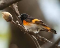 American Redstart (male) - Ed Konrad