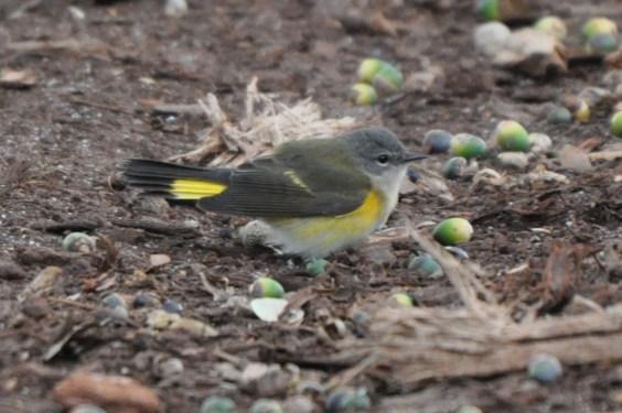 American Redstart (female) - Ed Konrad