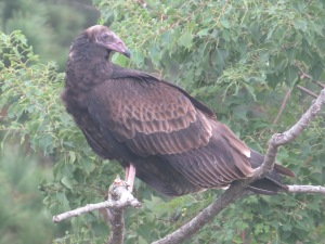 Immature Turkey Vulture - N Brown