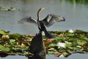 Male Anhinga drying wings - E Konrad