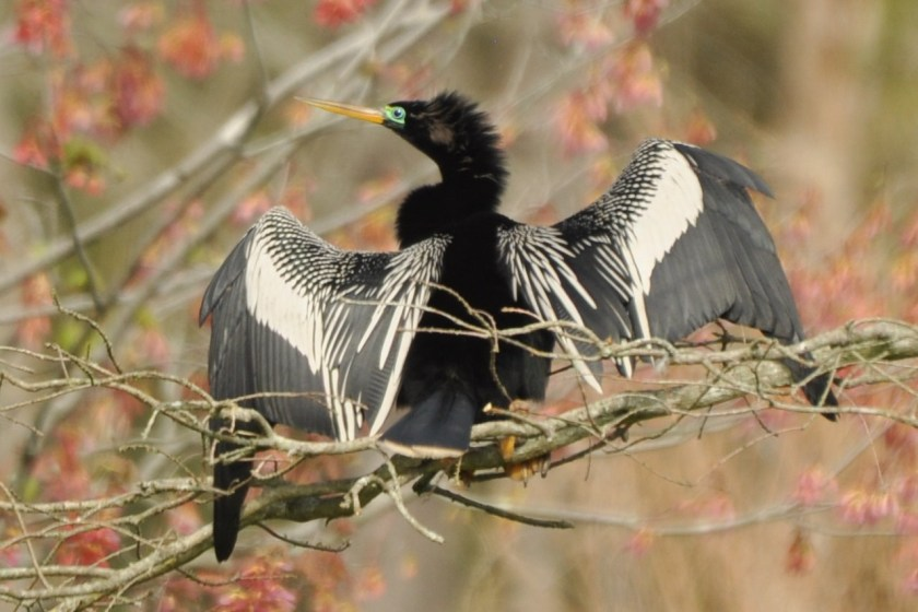 Male Anhinga drying wings - E Konrad