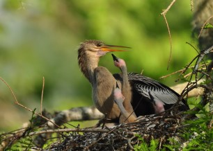 Female Anhinga with young - E Konrad