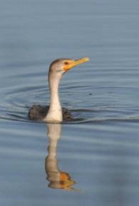 Double-crested Cormorant - E Konrad