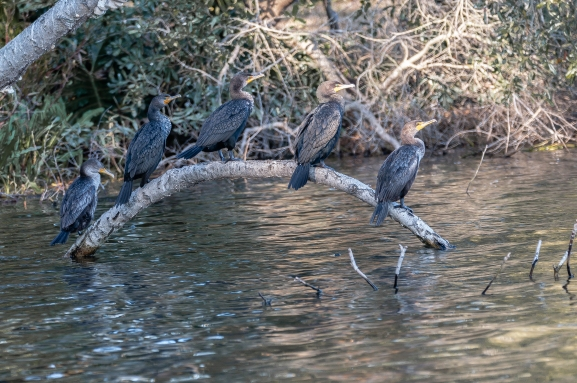 Double-crested Cormorants - C Moore