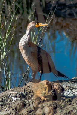 Double-crested Cormorant - C Moore