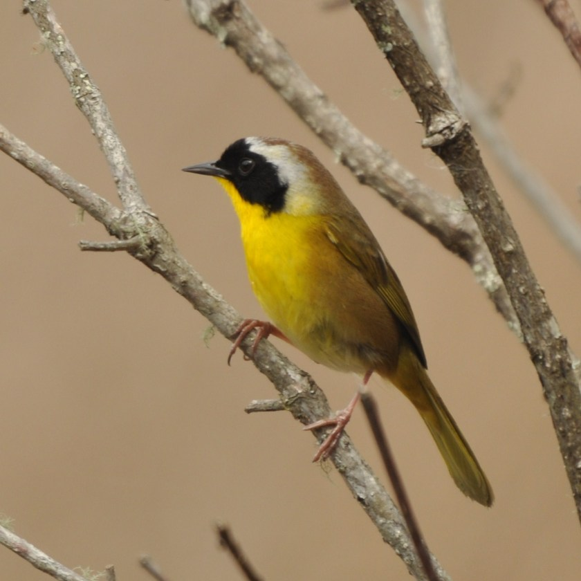 Common Yellowthroat - Ed Konrad
