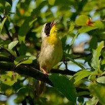 Common Yellowthroat - Ed Konrad