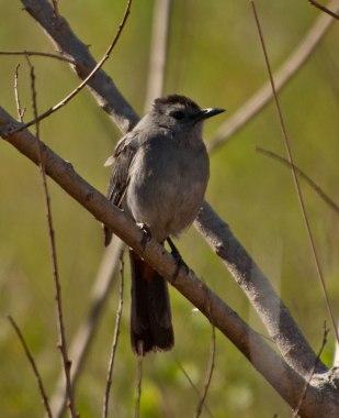 Gray Catbird - Ed Konrad