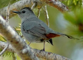 Gray Catbird - file photo from All About Birds