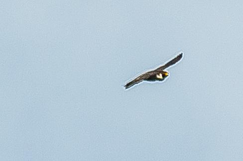 Peregrine Falcon - C Moore