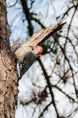 Red-bellied Woodpecker - C Moore