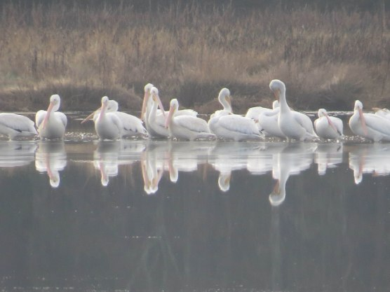 American White Pelicans at Bear Island - Flo Foley