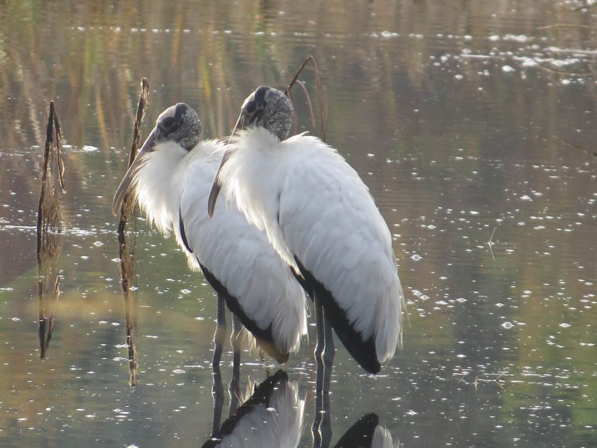 Wood Storks at Bear Island - Flo Foley