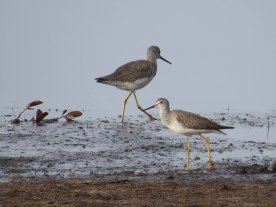 Greater (left) and Lesser (right) Yellowlegs at Bear Island - Flo Foley