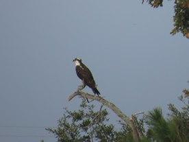 Osprey at Bear Island - Flo Foley