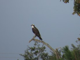 Osprey at Bear Island - Flo Foley