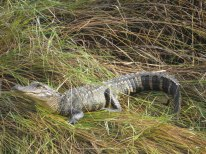 Young American Alligator at Bear Island - Flo Foley