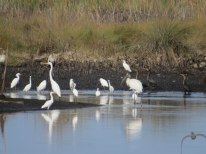 Mixed group including White Ibis, Snowy Egret, Great Egret & Wood Stork at Bear Island - Flo Foley