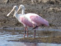 Roseate Spoonbill at Bear Island - Flo Foley