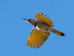 Northern Flicker Yellow-shafted male © Tom Johnson, Tubac, Arizona, February 2014