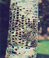 Holes created by Yellow-bellied Sapsucker (photo from Cornell Lab of Ornithology)