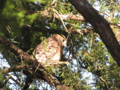 Red-shouldered Hawk at Equestrian Center - N Brown