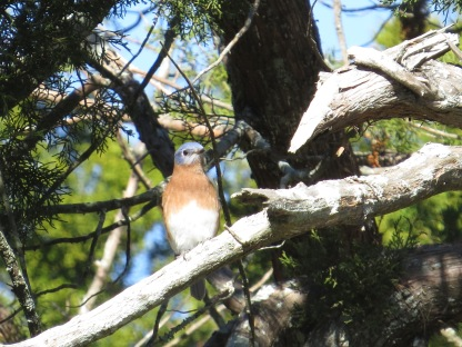 Eastern Bluebird at Equestrian Center - N Brown