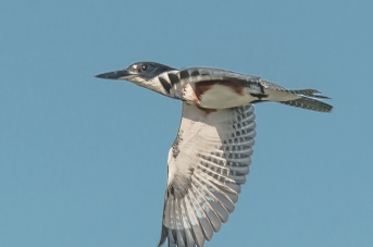Female Belted Kingfisher - C Moore