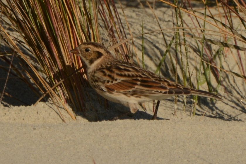 North Beach - Lapland Longspur is a very rare sighting on our beach - Ed Konrad