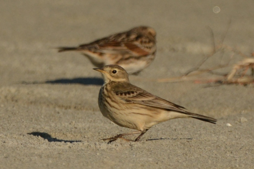 North Beach - American Pipit with Lapland Longspur - Ed Konrad