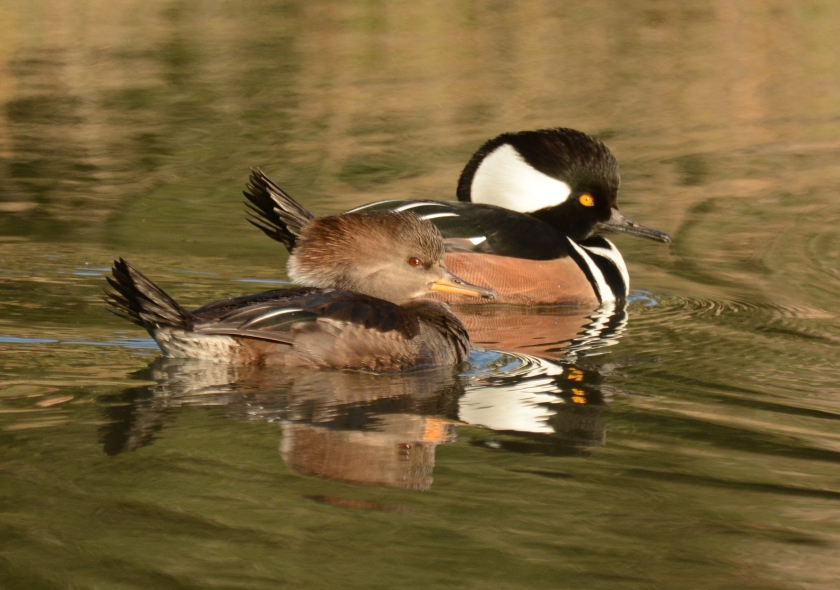 Heather Island Road, Jenkins Point - Hooded Merganser (male & female) - Ed Konrad