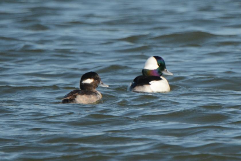 North Beach - Bufflehead (male & female) - Ed Konrad
