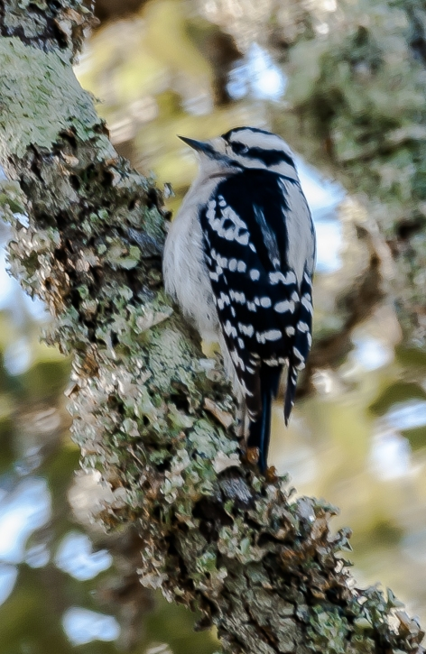 Downy Woodpecker - Charles Moore